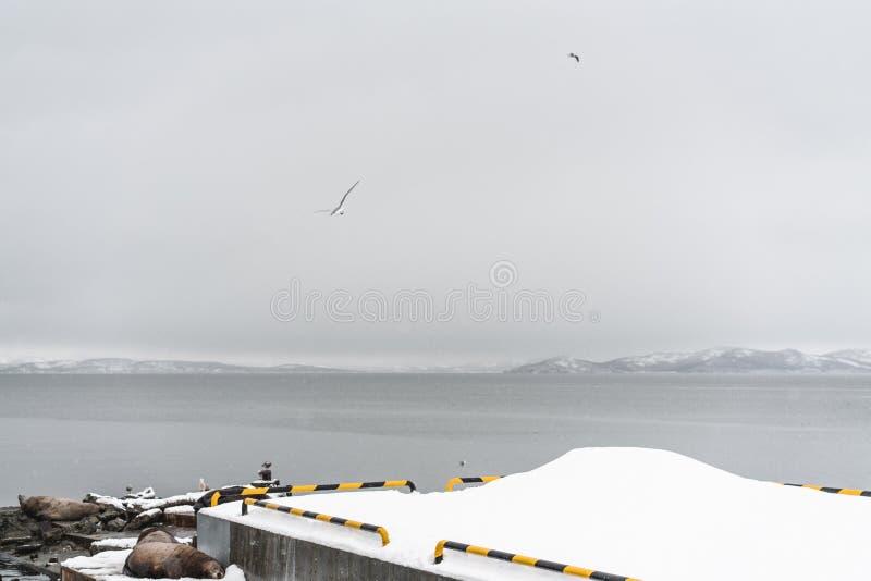 Stående av sjölejon som vilar på den Kamchatka halvön arkivbilder