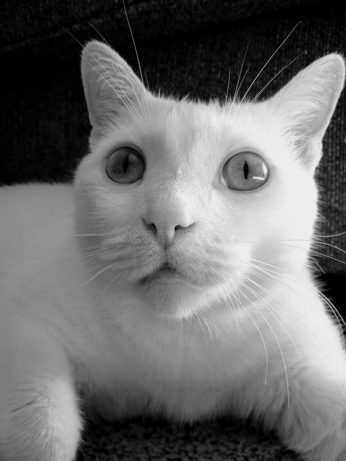 Stående av stålar katten arkivfoton