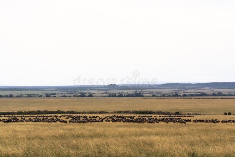 Stående av stor flyttning i Kenya royaltyfria bilder