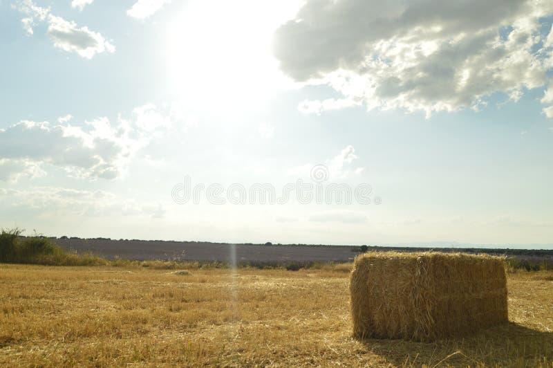 Stående av Straw Bale In A en nytt blekt äng med en koloni av lavendlar på bakgrunden i Brihuega Natur växter arkivbilder