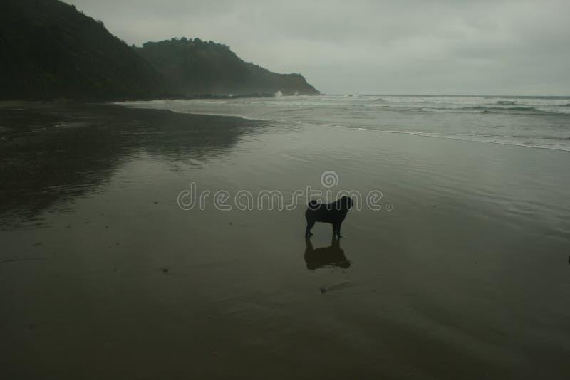 Stående av svart mops som står på en våt sandig strand som stirrar på vågorna reflekterade i sanden royaltyfria foton