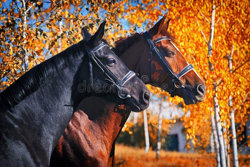 Stående av svarta och kastanjebruna hästar i höst royaltyfri fotografi