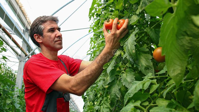 Stående av tomatodlaren i Polytunnel royaltyfri foto