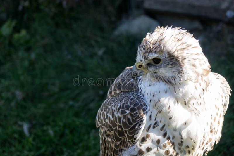 Stående av tonåringen Gyrfalcon också som är bekant som falcorusticolusen, arcticus Falco arkivfoto