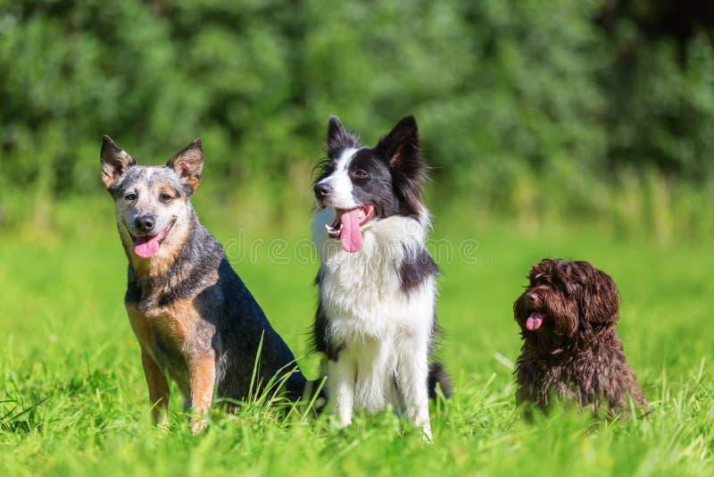 Stående av tre olika hundavel som sitter på en äng arkivbild