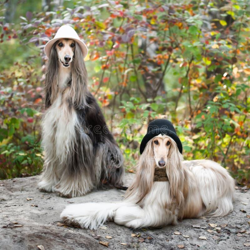 Stående av två afghanska vinthundar som är härlig, utseende för hundshow arkivfoton