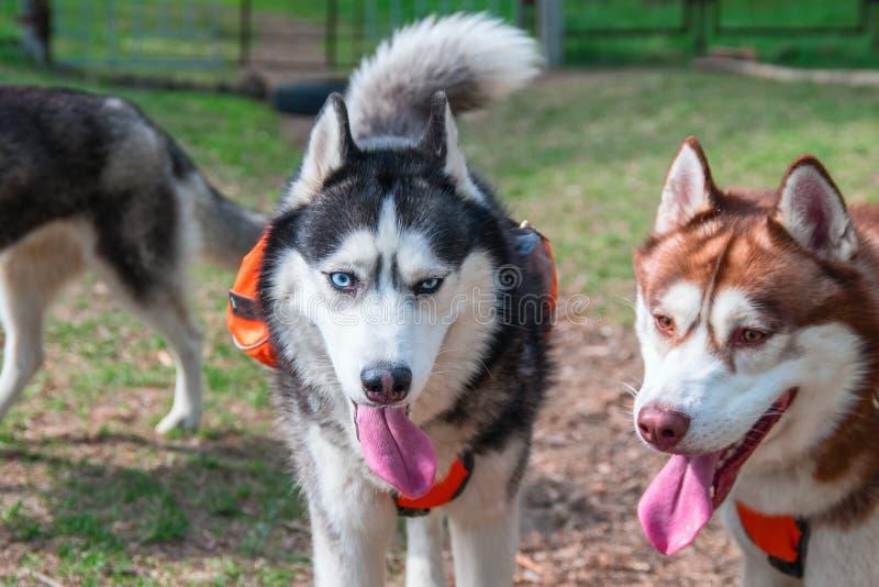 Stående av två härliga Siberian skrovligt Den skrovliga hundkapplöpningen går i parkera på en varm sommardag som ut klibbar deras arkivbild