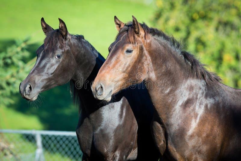 Stående av två hästar tätt upp på sommarbakgrund utomhus arkivbild
