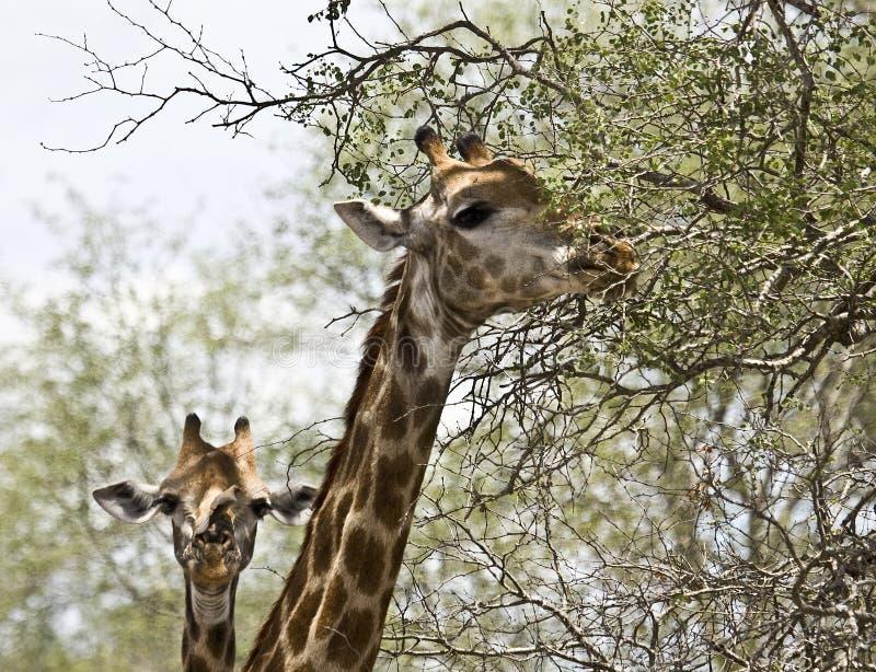 Stående av två lösa giraff, Kruger nationalpark, Sydafrika fotografering för bildbyråer