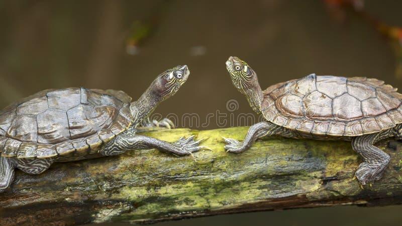 Stående av två sköldpaddor som vänder mot sig, medan solbada på wo royaltyfria bilder