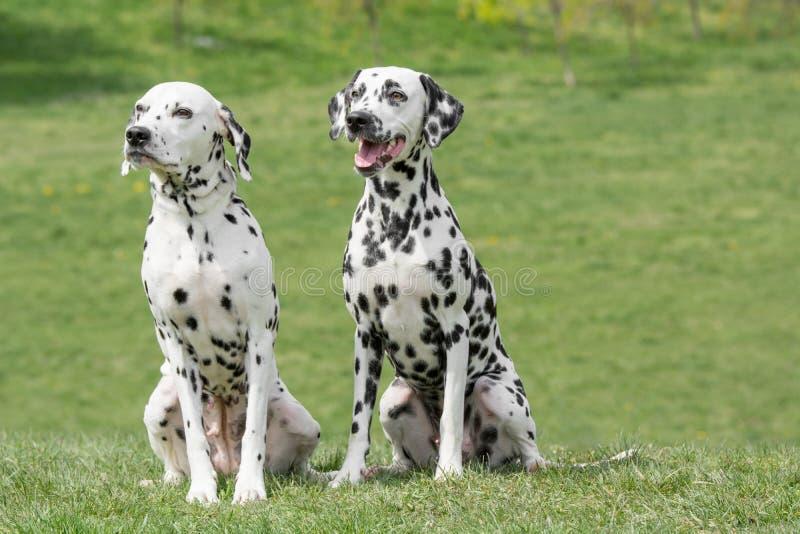 Stående av två unga härliga Dalmatian hundkapplöpning arkivfoton