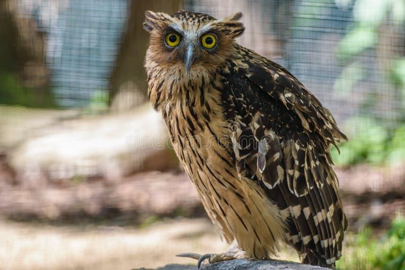 Stående av ugglan med stora ögon arkivbild
