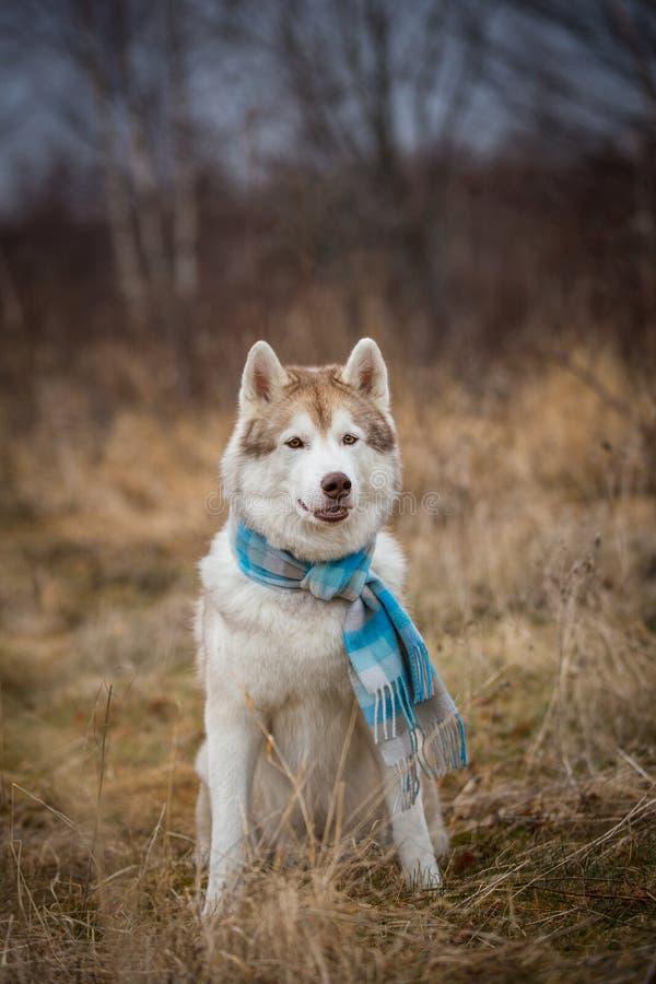 Stående av ursnyggt, gulligt och lyckligt skrovligt sitta för hundavelsiberian i den blåa rutiga halsduken i fältet arkivbilder