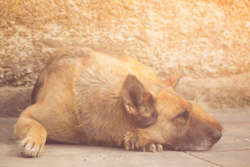Stående av vila för hund för tysk herde royaltyfria foton