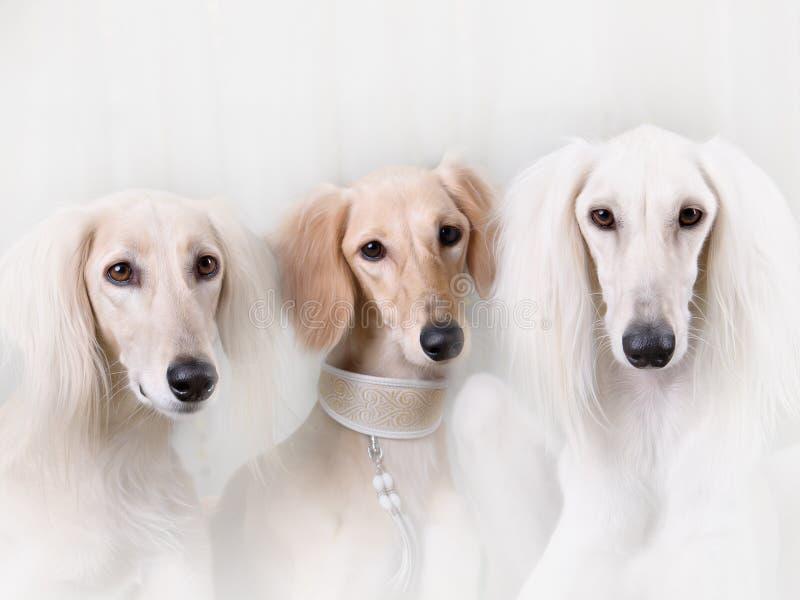 Stående av vinthunden för perser för tre hundavel royaltyfri fotografi