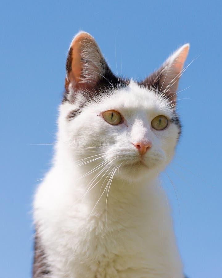 Stående av vit och svart Cat On Blue Sky royaltyfri bild