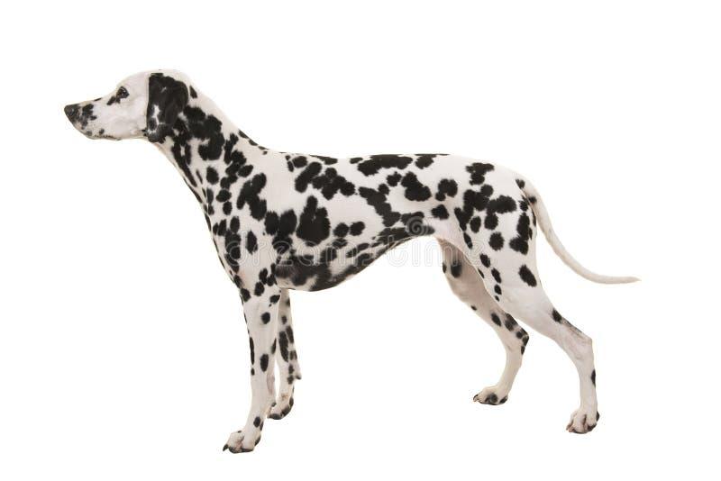 Stående dalmatian hund som isoleras på en vit bakgrund som ses från sidan arkivbild