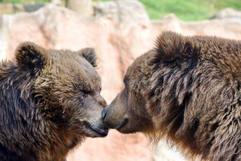 Stående för Closeup för brunbjörnUrsusArctos Beringianus huvud royaltyfria foton