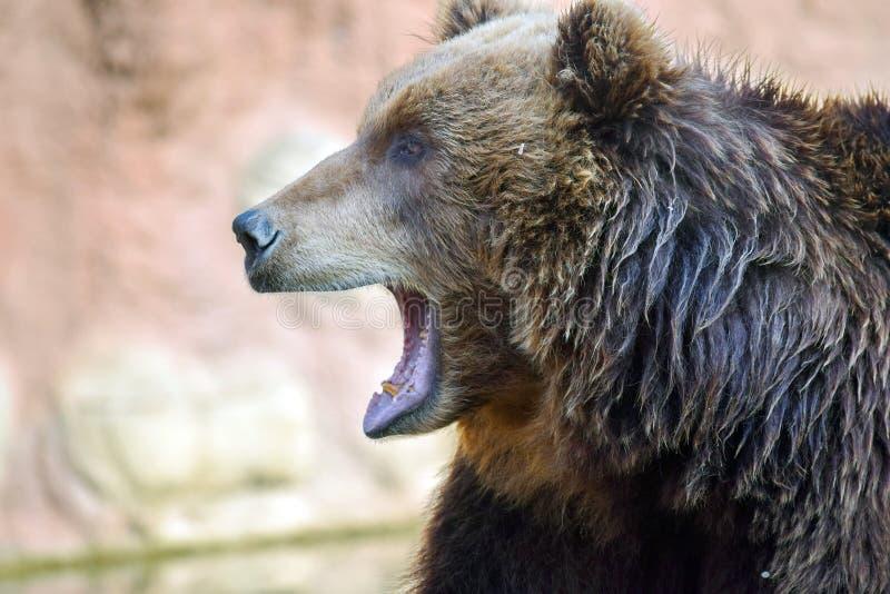 Stående för Closeup för brunbjörnUrsusArctos Beringianus huvud arkivfoto