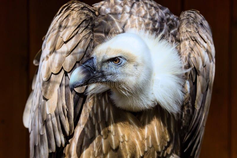 Stående för Eurasiangriffongam, Gypsfulvus fotografering för bildbyråer
