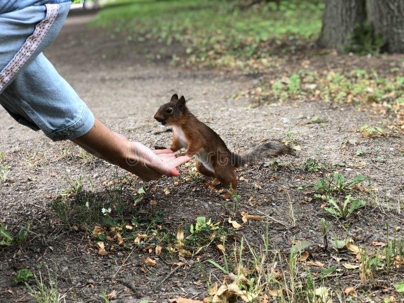 Stående för fluffig röd ekorre Ekorren ?ter fr?n handen Den lilla ekorren har lunch på jordningen Den lilla gnagaren rymmer muttr royaltyfri foto