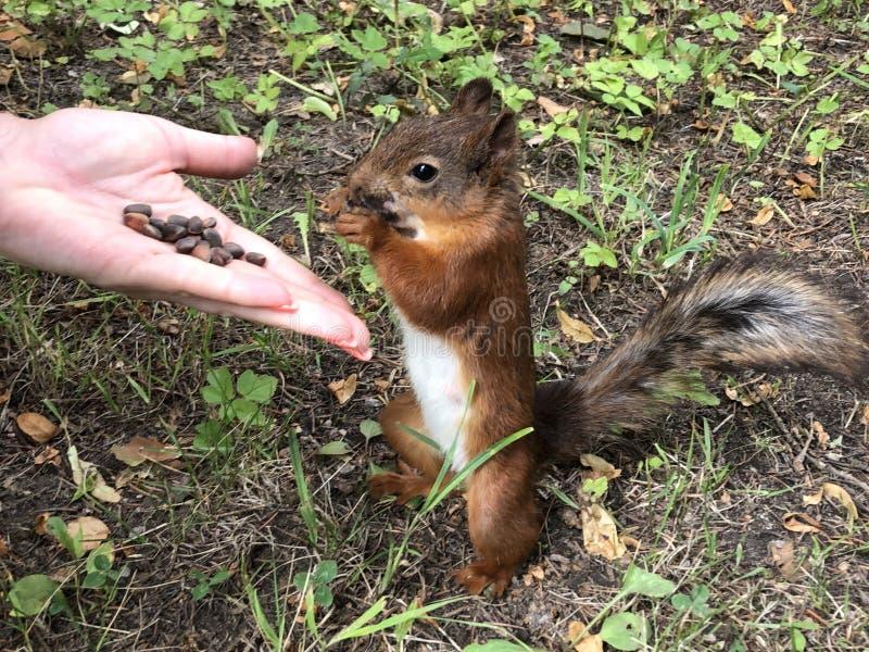 Stående för fluffig röd ekorre Ekorren ?ter fr?n handen Den lilla ekorren har lunch på jordningen Den lilla gnagaren rymmer muttr royaltyfria foton