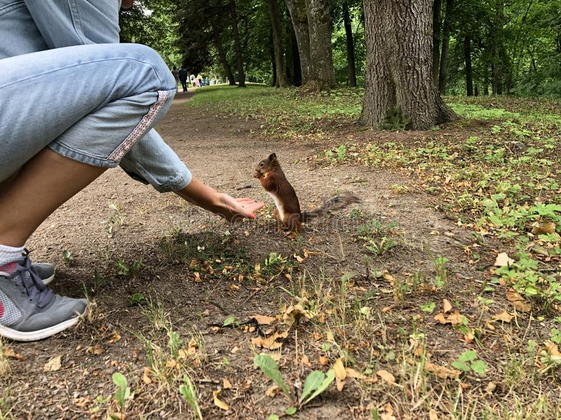 Stående för fluffig röd ekorre Ekorren ?ter fr?n handen Den lilla ekorren har lunch på jordningen Den lilla gnagaren rymmer muttr arkivbild