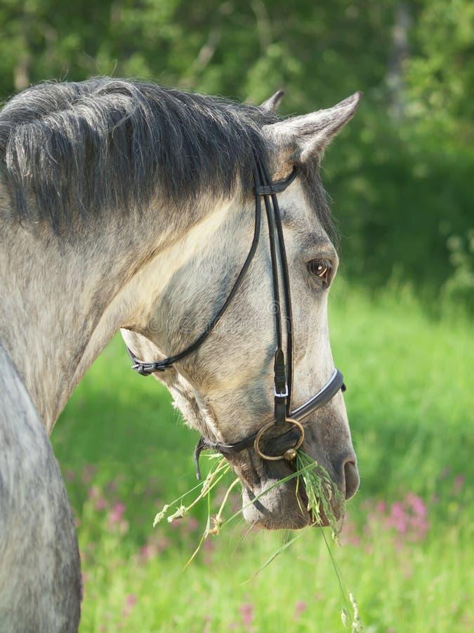 stående för häst för bakgrundsfältgrey trevlig royaltyfria bilder