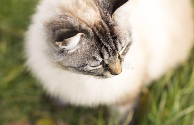 Stående för hög vinkel av en Siamese katt royaltyfri bild