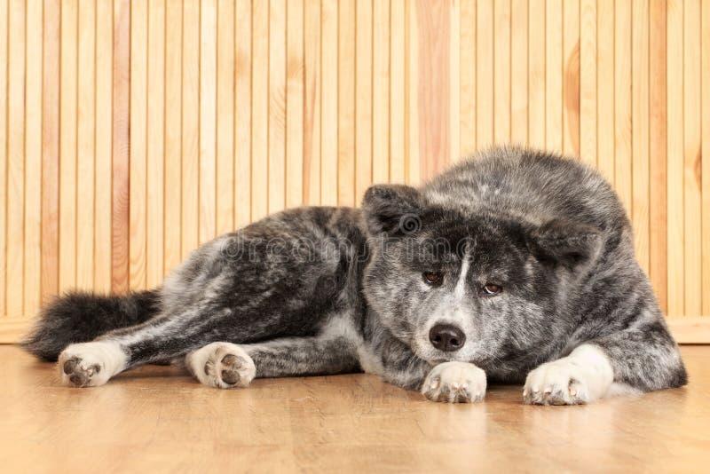 stående för japan för akita hundinu fotografering för bildbyråer