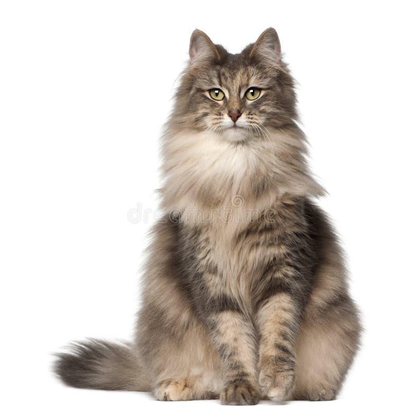 stående för kattskognorrman royaltyfria bilder