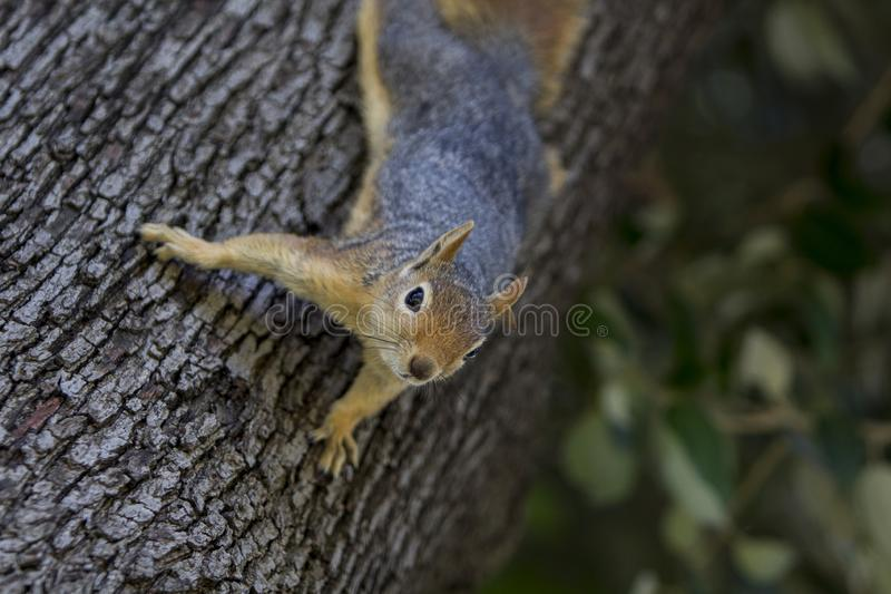 Stående för låg vinkel av en trädekorre som ner klättrar ett träd arkivfoton
