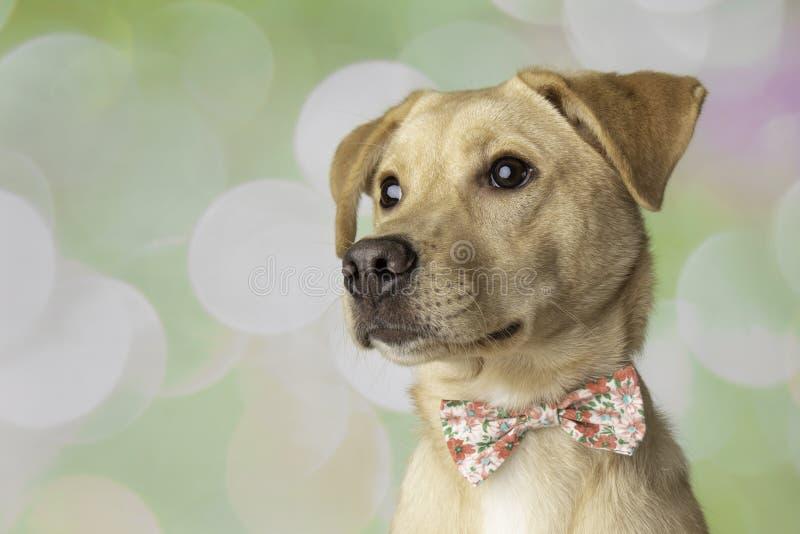 Stående för labradorblandninghund med den bärande flugaframsidan för färgrik bakgrund royaltyfria bilder
