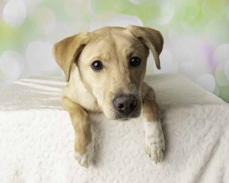 Stående för labradorblandninghund med färgrik bakgrund som ner ligger royaltyfri foto