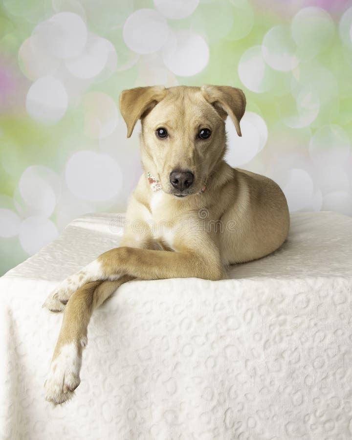 Stående för labradorblandninghund med färgrik bakgrund som ner ligger royaltyfri fotografi