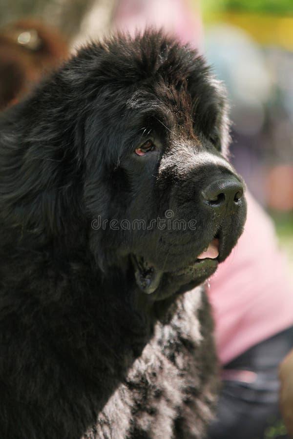 Stående för Newfoundland hundvalp fotografering för bildbyråer