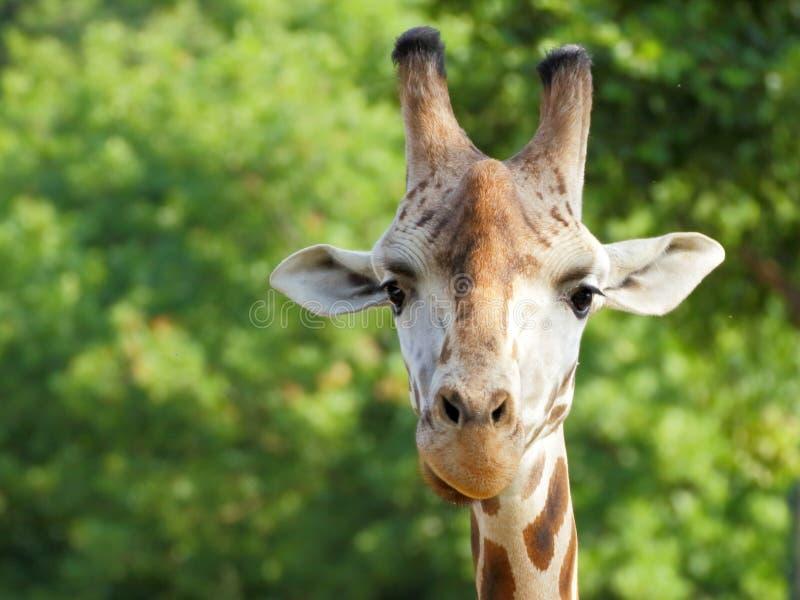 Stående för Rothschild giraff (Giraffacamelopardalis) arkivfoto