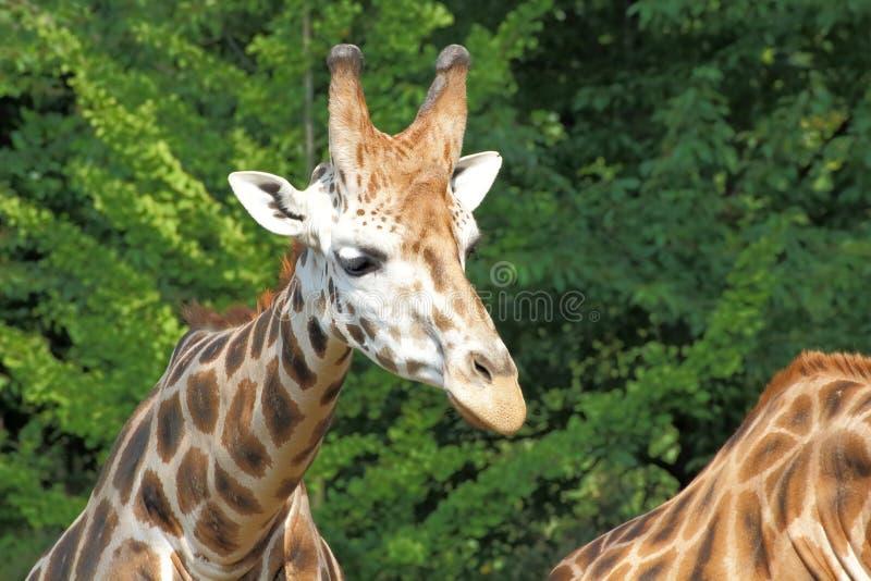 Stående för Rothschild giraff (Giraffacamelopardalis) royaltyfria foton