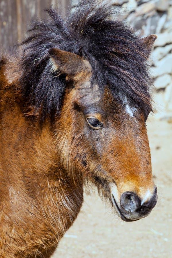 Stående för Shetland ponny med en massiv man fotografering för bildbyråer