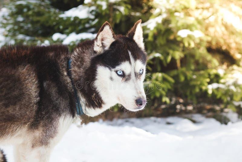 Stående för Siberian husky royaltyfri bild