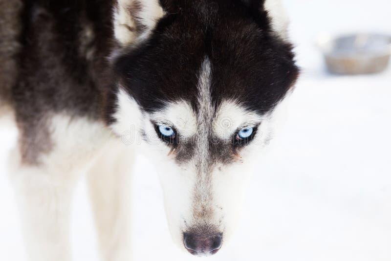 Stående för Siberian husky royaltyfria bilder