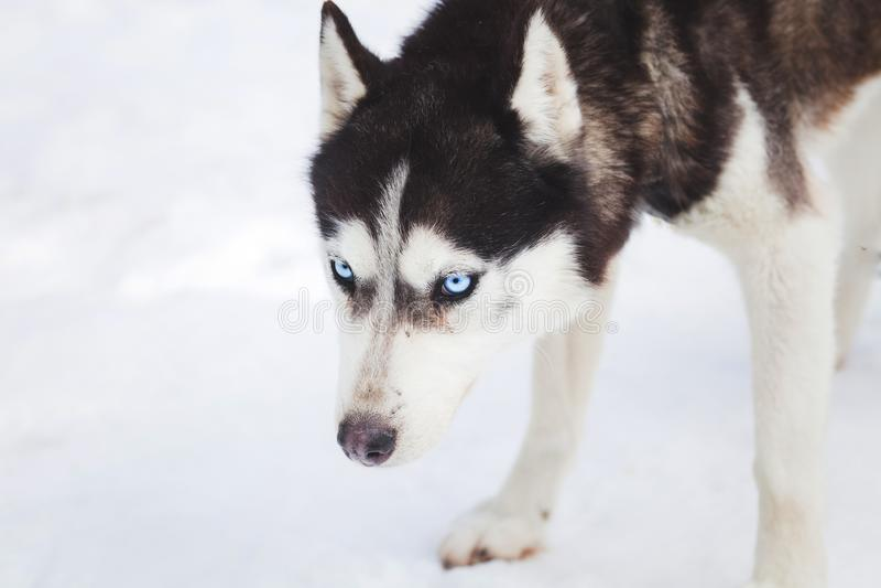 Stående för Siberian husky arkivbild