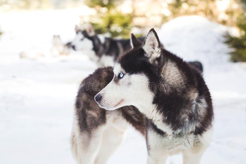 Stående för Siberian husky arkivfoton
