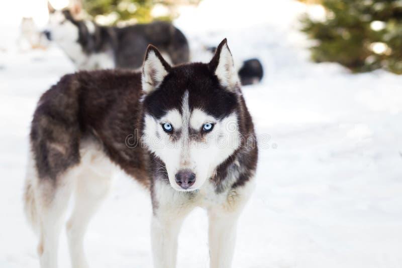 Stående för Siberian husky arkivfoto