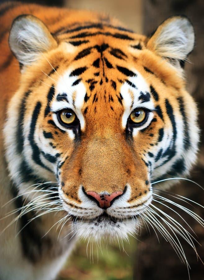 Stående för Siberian tiger arkivbild