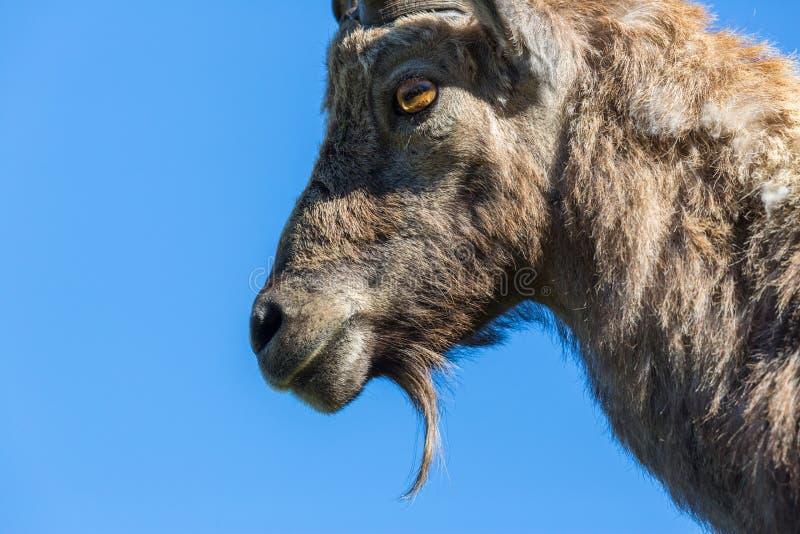 Stående för sidosikt av för caprastenbock för skägg blå himmel för alpin capricorn royaltyfri fotografi