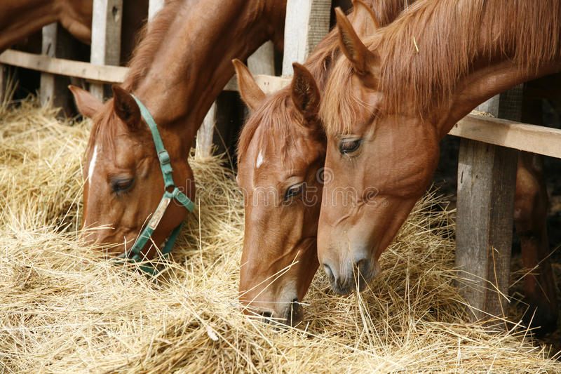 Stående för sidosikt från gruppen av betande hästar arkivfoton