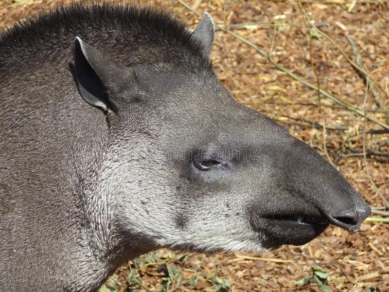 Stående för tapir för Baird ` s arkivfoton