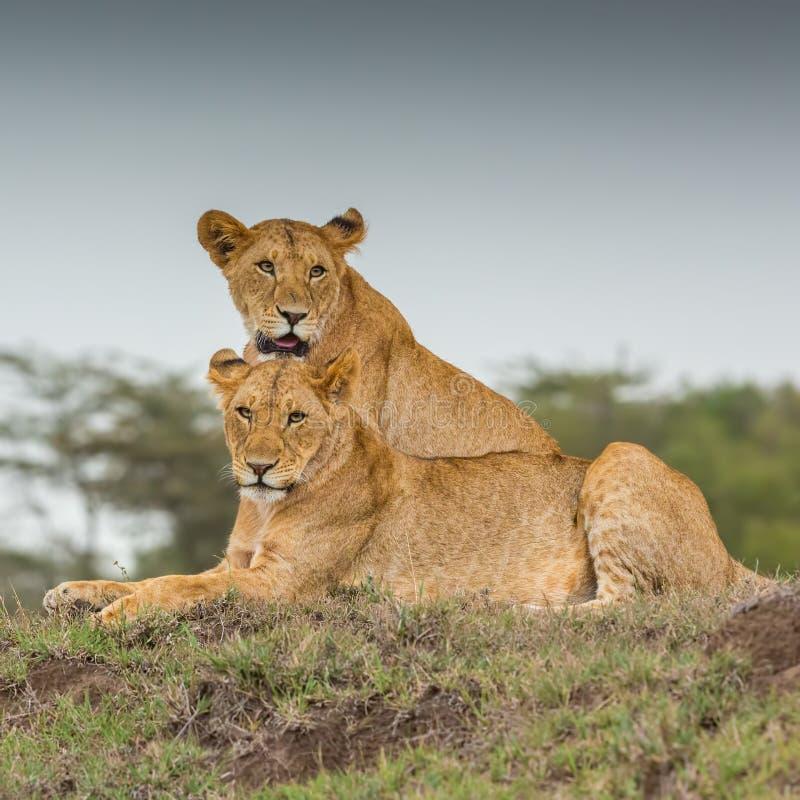 Stående för två lejoninnor fotografering för bildbyråer