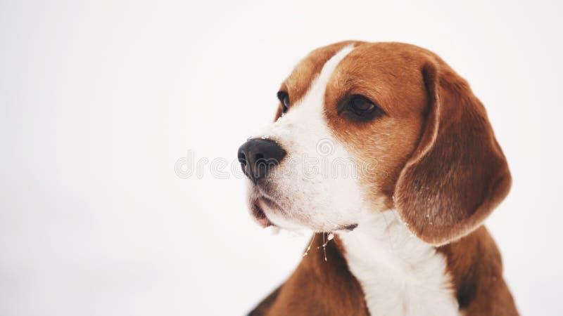Stående för vinter för beaglehund utomhus- med copyspace royaltyfri foto
